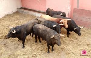 5 foto de arraigo taurino
